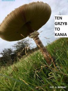 zdjęcie grzyba kani